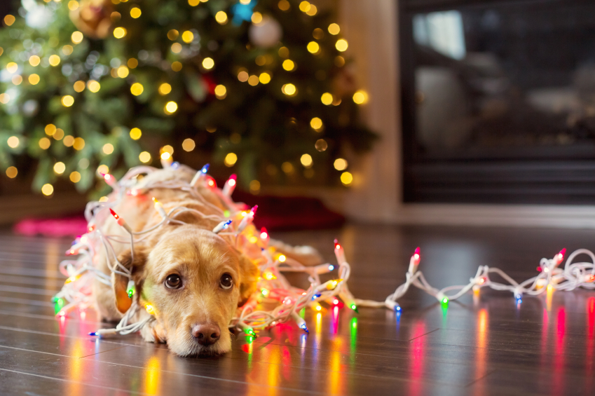 What is the most common pet related emergency during the holidays?